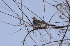 Fieldfare. Perched on a branch Stock Images