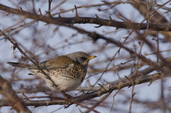 Fieldfare. Perched on a branch Royalty Free Stock Images