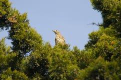 Fieldfare. On a branch (turdus pilaris Stock Photo