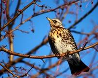 Fieldfare. On a branch of apple tree in winter Royalty Free Stock Image