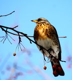 Fieldfare. On a branch of apple tree in winter Stock Images
