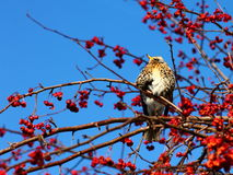 Fieldfare Stock Photography