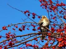Fieldfare. On a branch of apple tree in winter Stock Photography