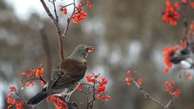 Fieldfare bird pecking a mountain ash berries sitting on a branch stock video footage