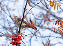 The Fieldfare bird with red berry Royalty Free Stock Images