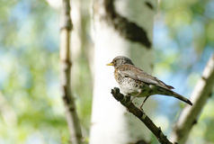 Fieldfare bird sitting on a tree branch in the forest Stock Photography