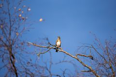 Fieldfare and blue sky. Fieldfare sitting on a branch against a clear blue sky Stock Image