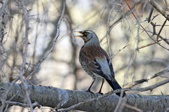 Fieldfare at branch. With opening beak Stock Photos