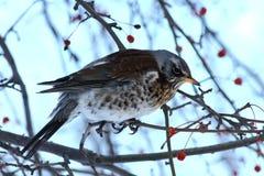 Fieldfare. On a branch of apple tree in winter Stock Image