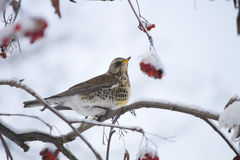 Fieldfare on a branch of rowan regales red berries Royalty Free Stock Photo