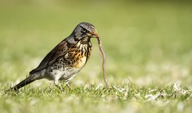 Fieldfare catching a worm Royalty Free Stock Photos