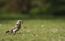 Fieldfare catching a worm Royalty Free Stock Image