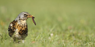 Fieldfare catching a worm Stock Photography