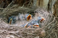 Fieldfare chicks lying in the nest Turdus pilaris stock photography