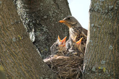 Fieldfare with chicks in nest on a tree Stock Image