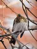 Fieldfare close up Stock Images