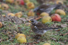 Fieldfare eating apples royalty free stock photo