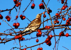 Fieldfare eating berries. Fieldfare on a branch of apple tree in winter Royalty Free Stock Photography