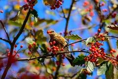 Fieldfare eating berries Royalty Free Stock Image