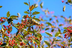 Fieldfare eating berries Stock Photography