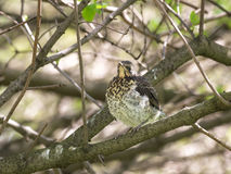 Fieldfare fledgling Stock Photo