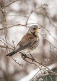 Fieldfare. In the forest at winter time Royalty Free Stock Photos