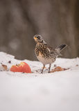 Fieldfare. In the forest at winter time Stock Image