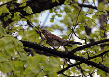 Fieldfare is going to feed children Royalty Free Stock Images