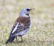 Fieldfare. Hanging in the grass Royalty Free Stock Photo