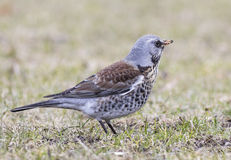 Fieldfare. Hanging in the grass Royalty Free Stock Image