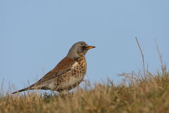 Fieldfare in high position Stock Photo