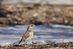 Fieldfare just after season migration arriving in spring field Royalty Free Stock Images