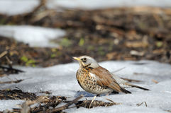 Fieldfare just after season migration arriving in spring field Stock Photos