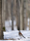 Fieldfare just after season migration in spring forest Royalty Free Stock Photography
