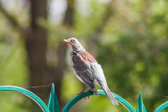 Fieldfare (Latin. Turdus pilaris) is sitting on the fence, green background Stock Images
