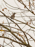 Fieldfare on leafless tree Stock Photography