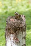 Fieldfare with little chicks in the nest Turdus pilaris. Fieldfare parent standing in a nest with hungry chicks. Wildlife scene from spring forest Stock Photos