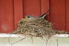 Fieldfare nesting. Fieldfare (Turdus pilaris) incubating in a nest built on top of a window board stock photo
