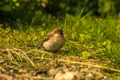 Fieldfare nestling from a level perspective Royalty Free Stock Photography
