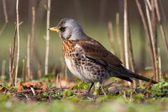 Fieldfare On Spring Day1 Stock Images
