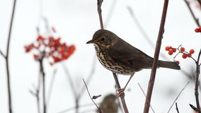 Fieldfare pecking a mountain ash berries sitting on a branch stock video