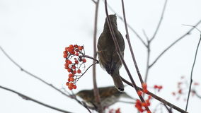 Fieldfare pecking a mountain ash berries sitting on a branch stock footage
