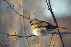 Fieldfare perched on a branch Royalty Free Stock Images