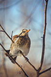 Fieldfare perched on a branch Royalty Free Stock Image