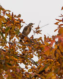 Fieldfare perched on a fruit tree Stock Photography