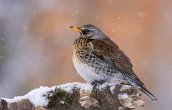 Fieldfare rests on snow covered old snag with falling snowflakes stock photo