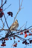 Fieldfare perching high in a crab apple tree. Seen from below, showing soft speckled plumage. The wild birds are more often seen on agricultural land, but come royalty free stock image