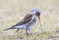Fieldfare pulling earthworm. From the ground Royalty Free Stock Photo
