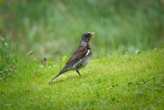 Fieldfare in the rain Royalty Free Stock Photo
