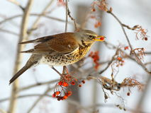 Fieldfare with a red berry Royalty Free Stock Photo